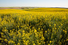 Canola Fields 23