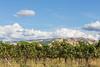 Vineyard - Walla Walla 13