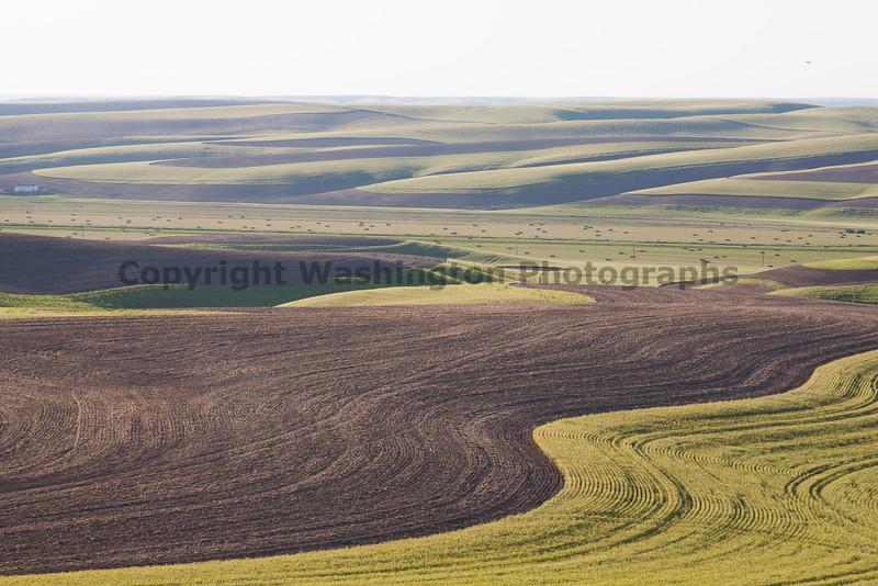 Wheat Fields in Spring 068