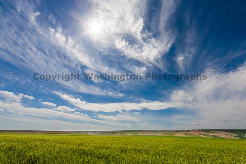 Wheat Fields in Spring 148
