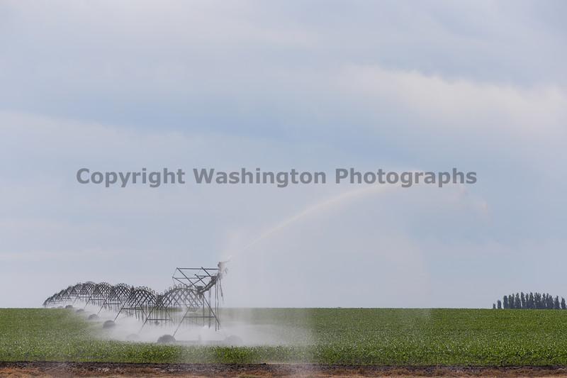 Cornfield Sprinkler 17
