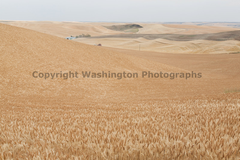 Wheat Fields in Summer 50