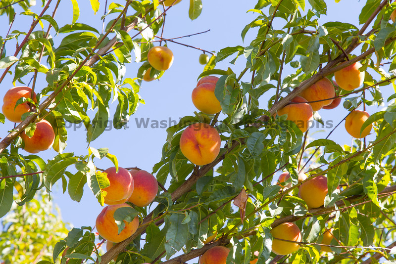 Orchard - Peaches 23