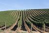 Vineyard - Walla Walla 30
