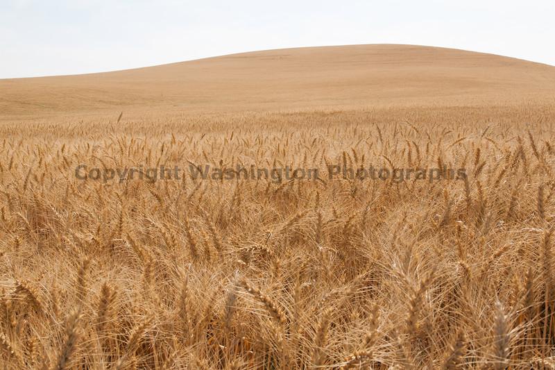 Wheat Fields in Summer 45
