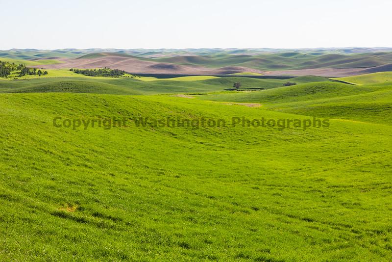 Wheat Fields in Spring 058