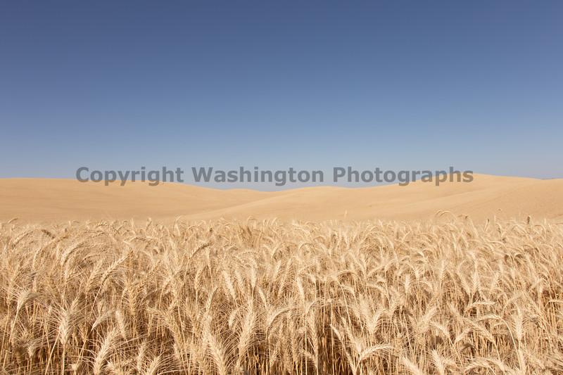 Wheat Fields in Summer 132