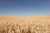 Wheat Fields in Summer 132