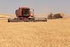 Wheat Harvest 171