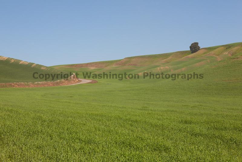 Wheat Fields in Spring 064