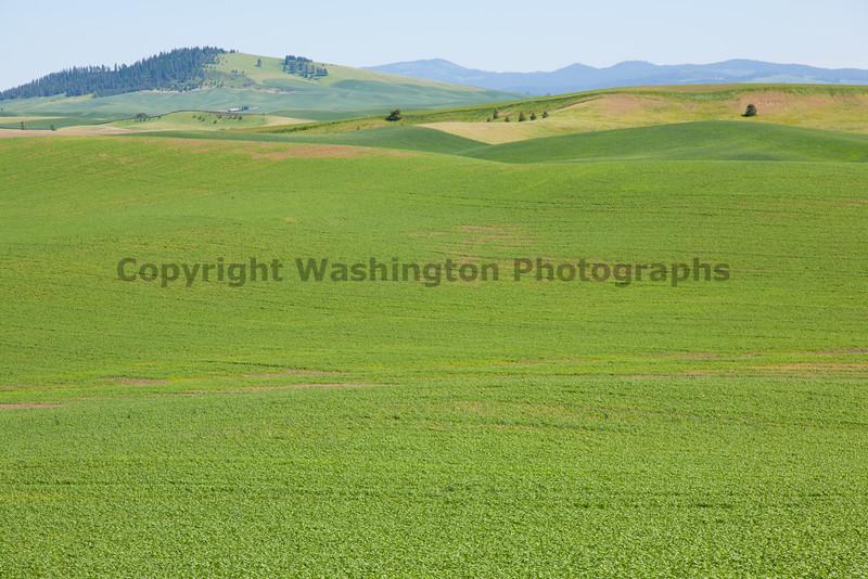 Wheat Fields in Spring 033