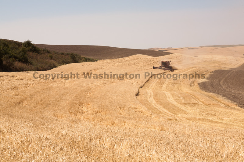 Wheat Harvest 77