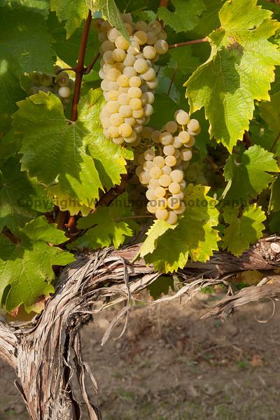 Vineyard Grapes 118