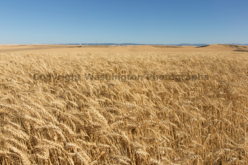 Wheat Fields in Summer 90