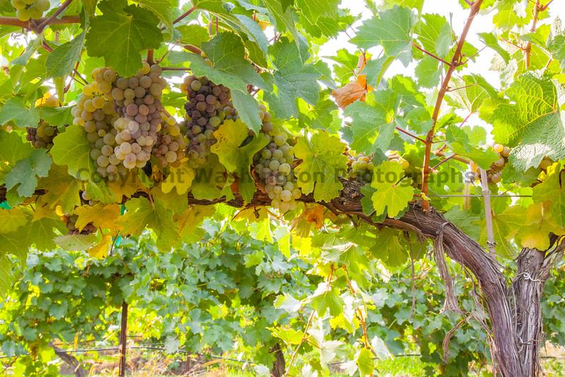 Vineyard Grapes 106