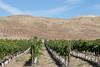 Vineyard - Snipes Mountain 11