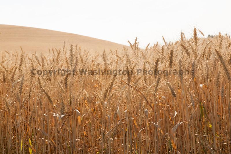 Wheat Fields in Summer 46