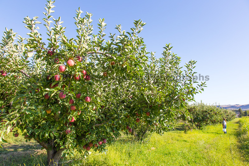 Orchard - Apples 17