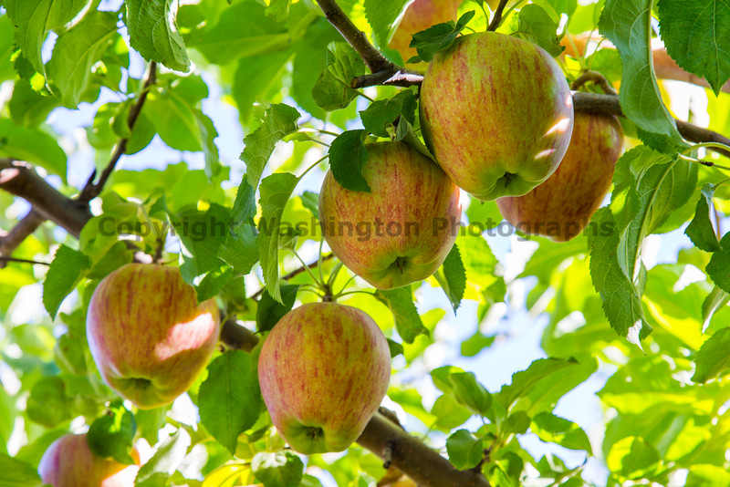 Orchard - Apples 12