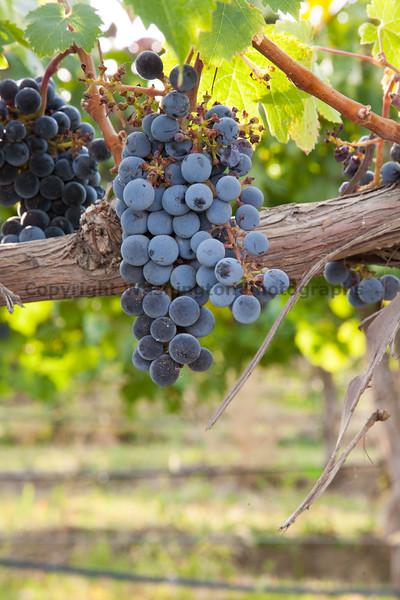 Vineyard Grapes 127