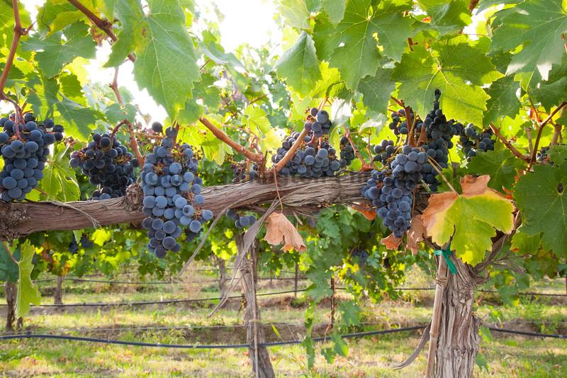 Vineyard Grapes 130