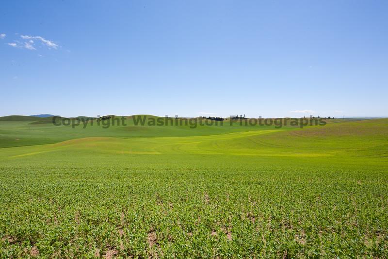 Lentil Fields 14