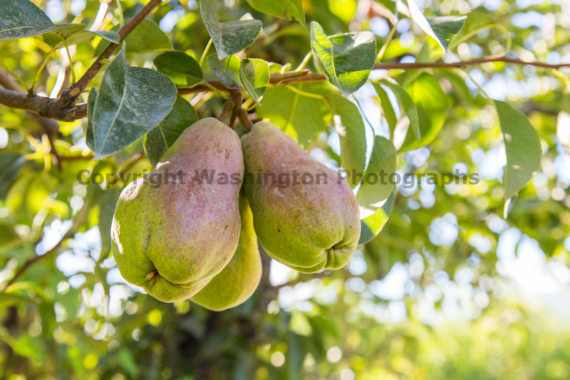 Orchard - Pears 13