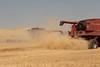 Wheat Harvest 177