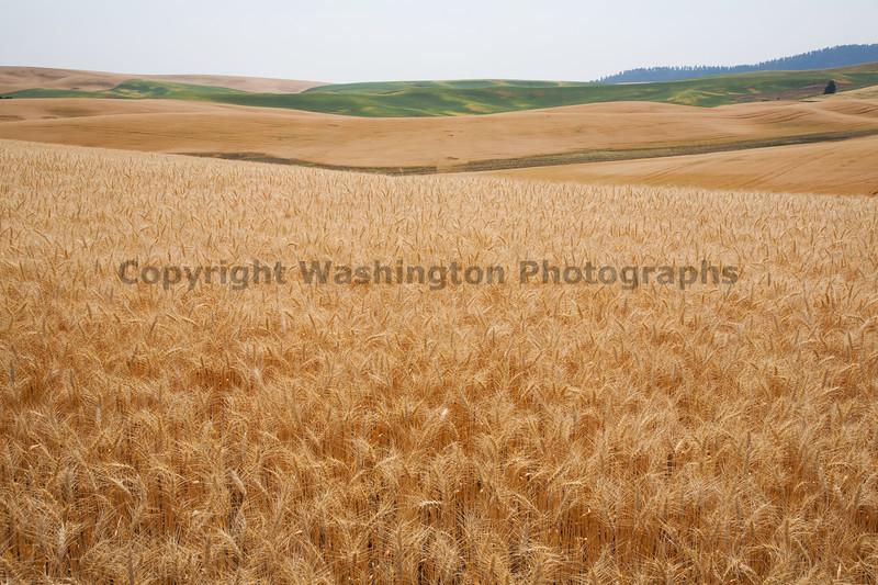 Wheat Fields in Summer 38