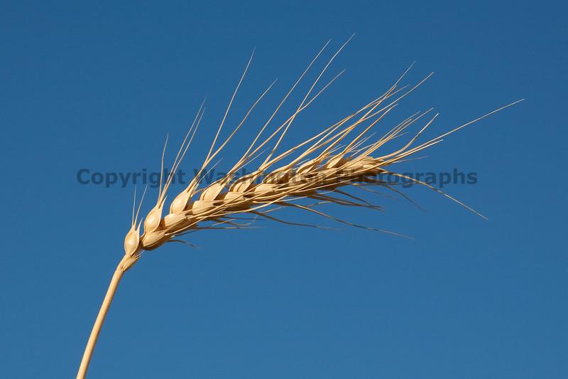 Wheat Fields in Summer 103