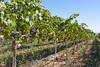 Vineyard - Rattlesnake Hills 109