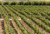 Vineyard - Rattlesnake Hills 107