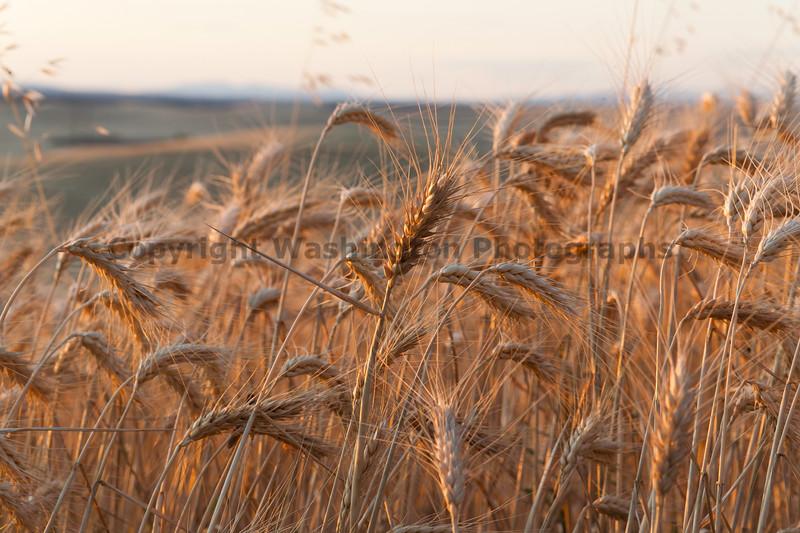 Wheat Fields in Summer 72