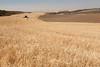 Wheat Harvest 78