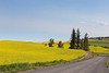 Canola Fields 64