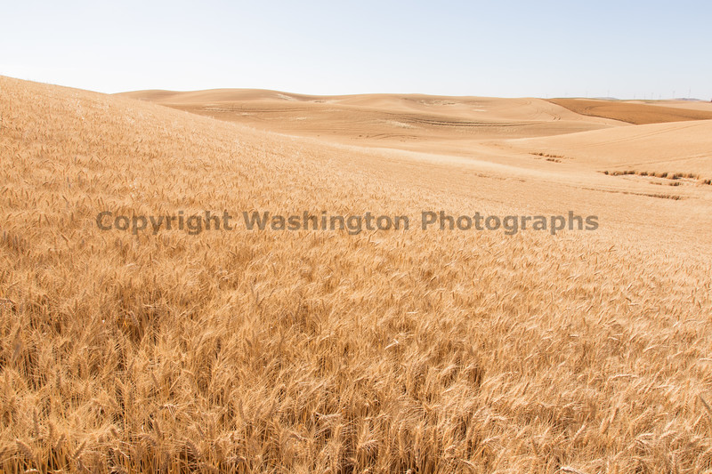 Wheat Fields in Summer 136