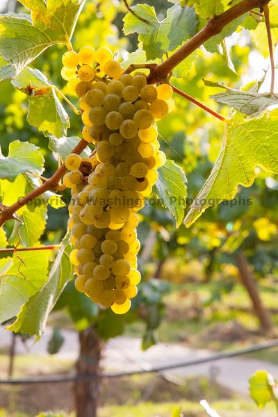 Vineyard Grapes 124