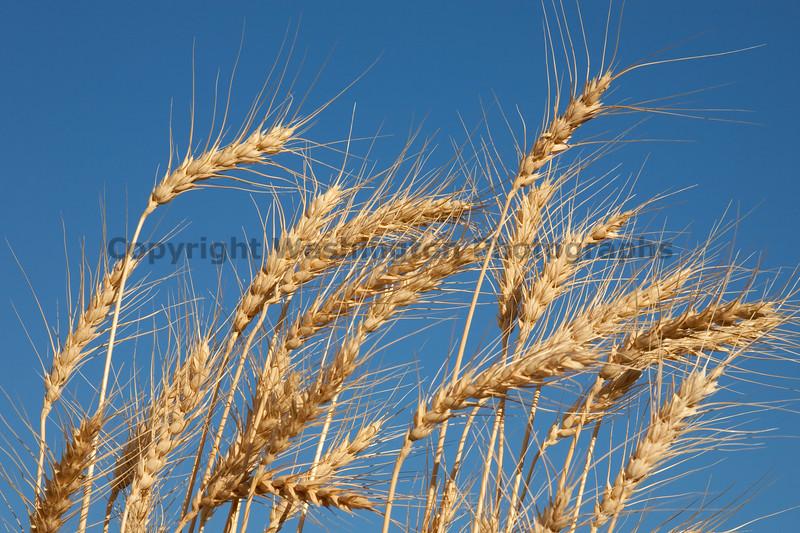 Wheat Fields in Summer 101