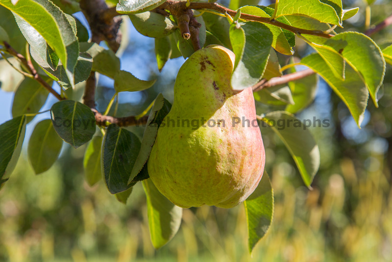 Orchard - Pears 10