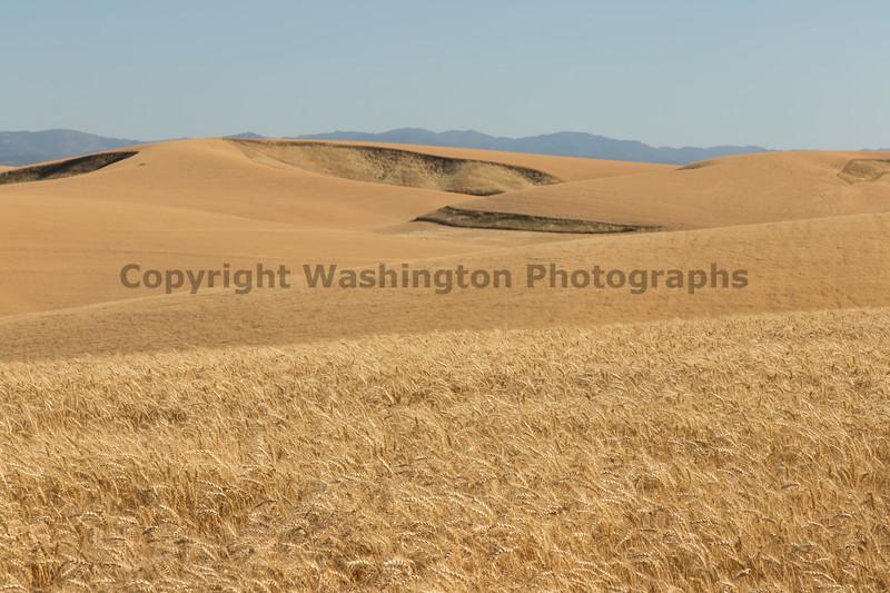 Wheat Fields in Summer 91