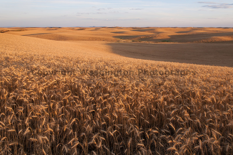 Wheat Fields in Summer 70
