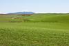 Wheat Fields in Spring 025
