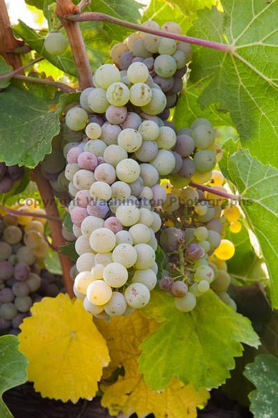 Vineyard Grapes 104