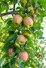 Orchard - Apples 14