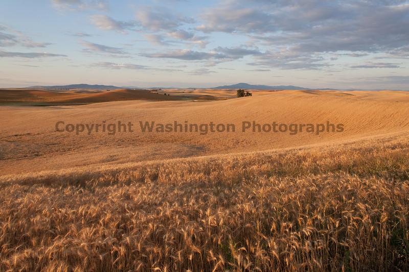 Wheat Fields in Summer 69