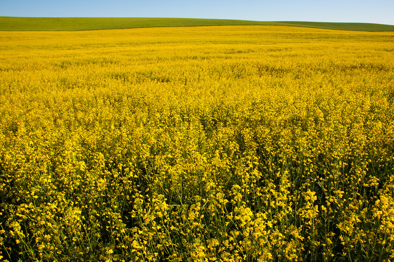 Canola Fields 13