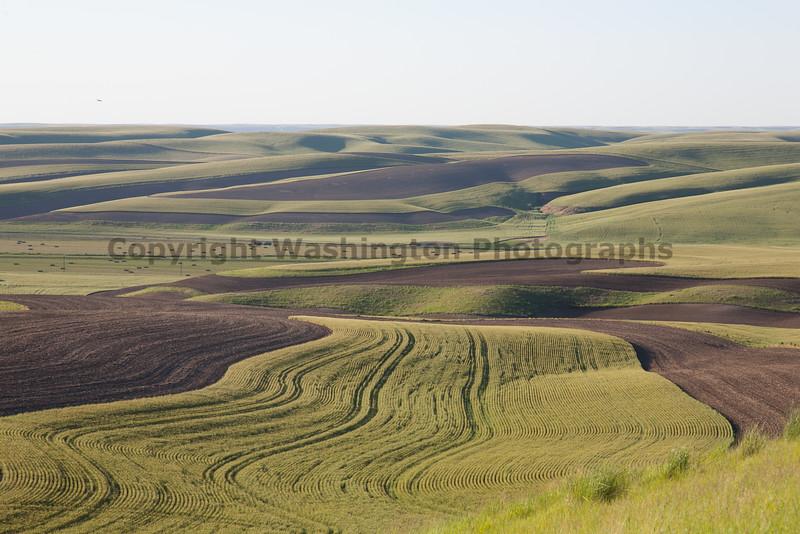 Wheat Fields in Spring 067
