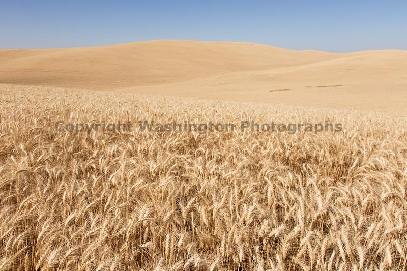 Wheat Fields in Summer 131