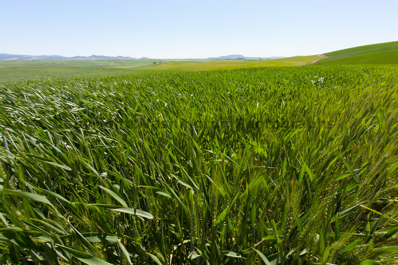 Wheat Fields in Spring 20