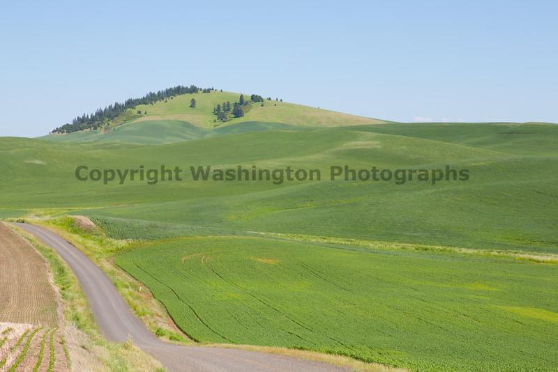 Wheat Fields in Spring 031